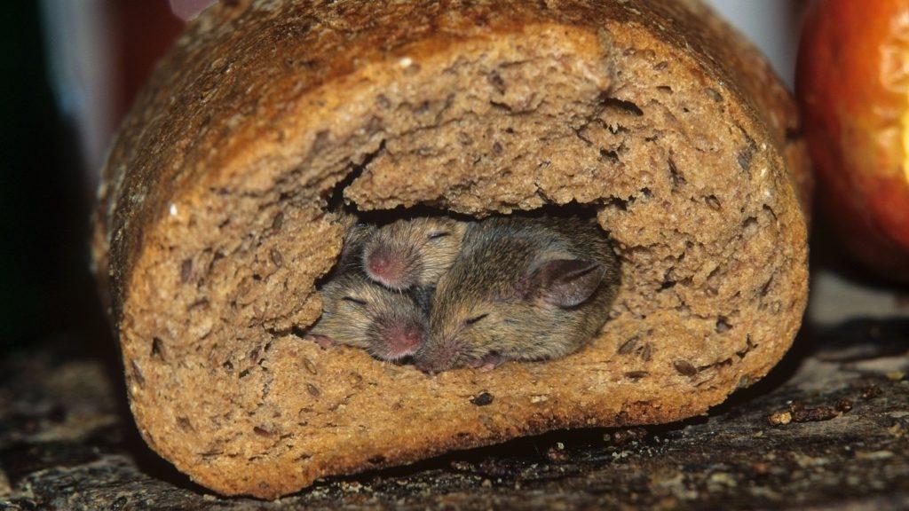 Порча продуктов грызуны в Тюмени